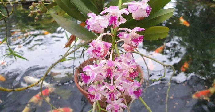 Các loại hoa lan có mùi thơm - Top 10+ loại có mùi thơm quyến rũ; Lan korat koki cách trồng mua